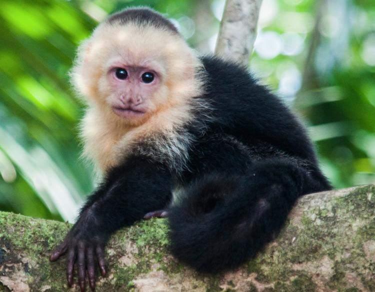 capuchin monkey: better than donald